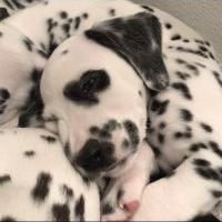 HeartSpot Dalmatians Litter