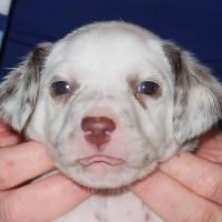 2 LUA male puppies