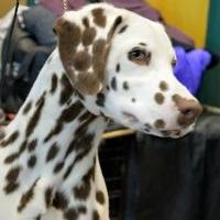 Mapleaf Dalmatians  Puppies